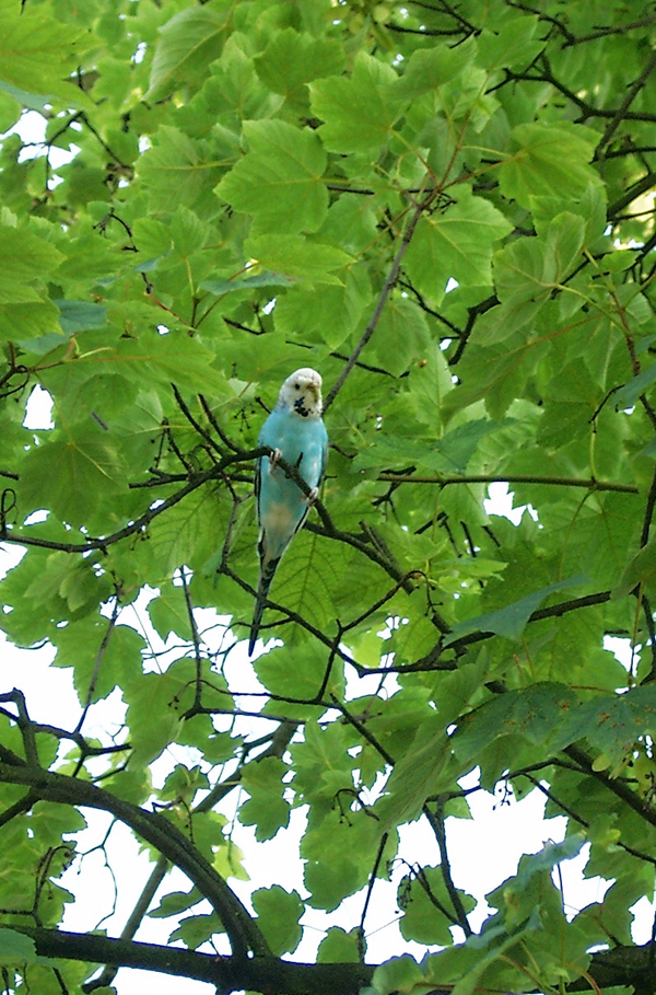 Blue Female Budgie - Escaped! © merla