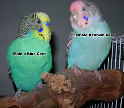 Female Parakeet: brown cere, Male Parakeet: blue cere