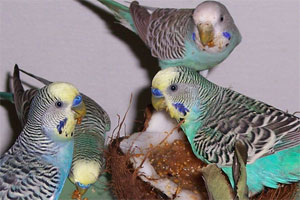 Parakeet Food Recipes