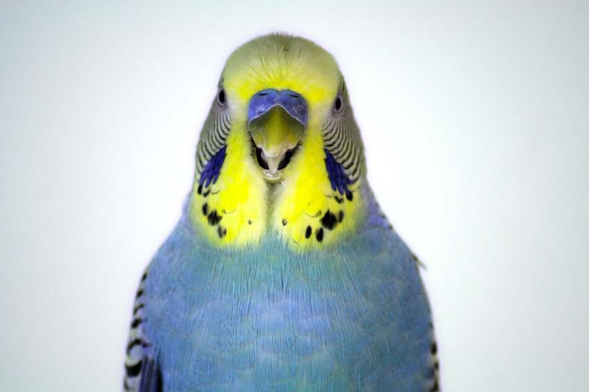 Blue Yellow-Face Male Parakeet