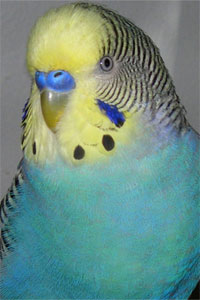 Yellow Face Blue Parakeet